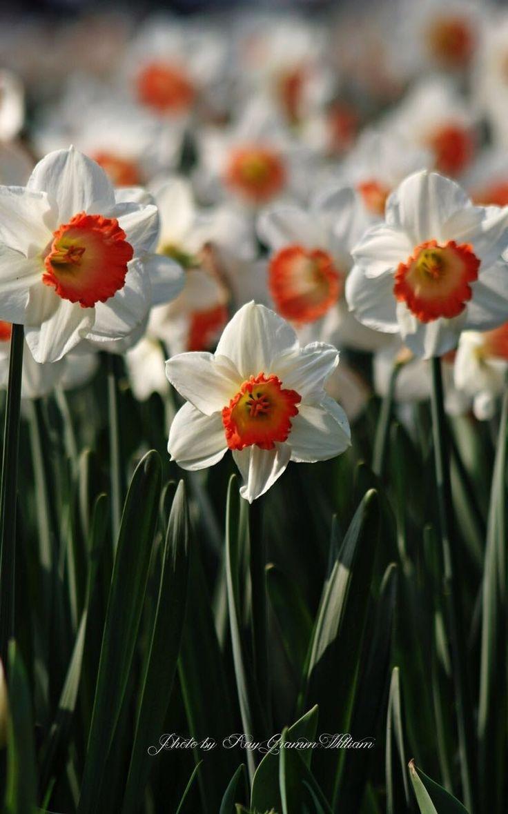 Flower (Series):Narcissus: LOVE (2) -