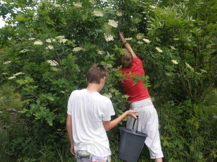 Tommy og Nicolai plukker hyld