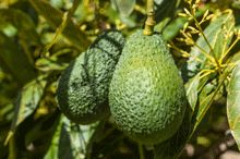Delicious Avocados Without the Wait