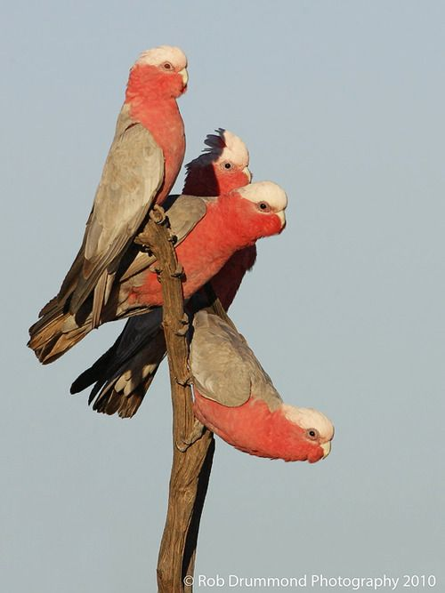 Pretty red and tan Galah, one of the most common and widespread cockatoos.  Can be found in open country in almost all parts of mainland Australia.