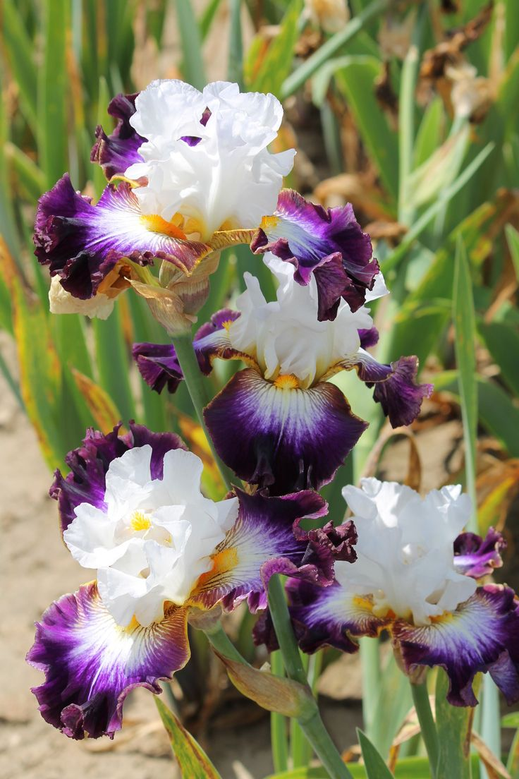 ~TB Iris 'Downtown Man' (Blyth, 2008)