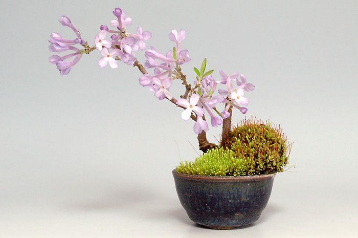 フジモドキJ(ふじもどき・藤擬)花もの盆栽の販売と育て方・作り方・Lilac Daphne bonsai photo