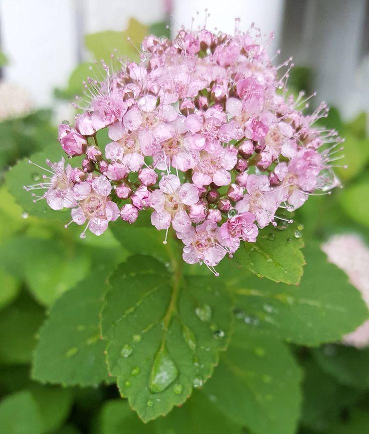Sateen jälkeen maailma on kaunis  #kesä #summer #summermood #flowers #flowerpower #nature #naturelover #gardenlover #gardenphoto #afterrain #lifestyleblogger #nelkytplusblogit #åblogit #ladyoftemess