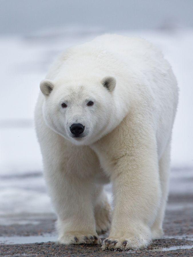 Urso polar (Ursus maritimus) : O maior carnívoro do mundo é também a mais recente espécie de urso, com alguns exemplares ultrapassando os 750 kg. Habitando o Ártico e parte do continente norte americano, esses animais estão perdendo seu habitat devido ao aquecimento global. Representam a única espécie de urso inteiramente carnívora, alimentando-se de focas, peixes e baleias que eventualmente encalham na costa. Os urso polares são excelentes nadadores e não hibernam.