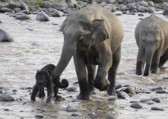 El asesinato de elefantes asiáticos por su piel desata una nueva crisis de caza furtiva