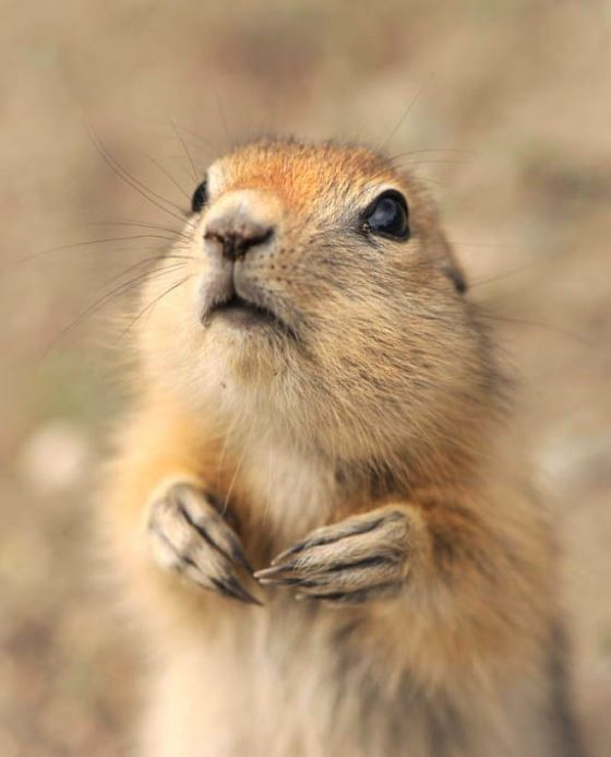 Prairie Dog... the cutest coolest little things ever!