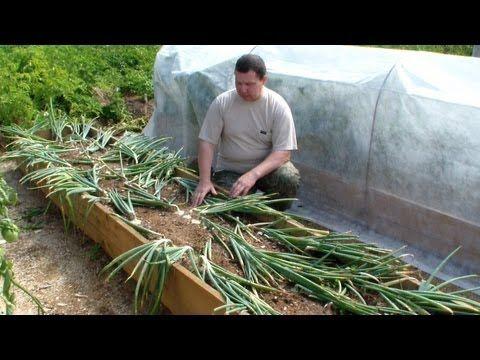 Как избавиться от муравьев в огороде - YouTube