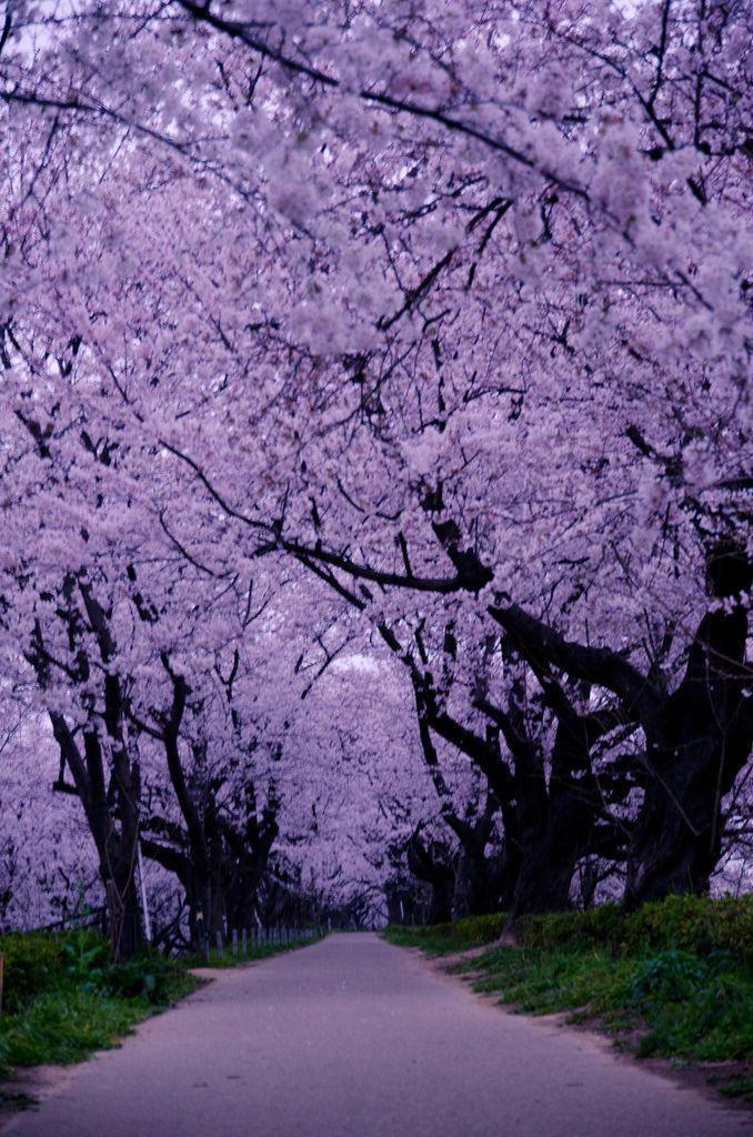 Cherry Blossom Lane, Saitama, Japan photo via myranda