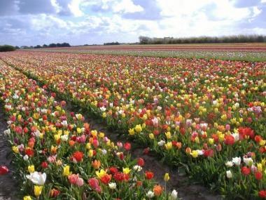 Fête des Fleurs - Plomeur La Torche  Bulbes (tulipes, jacinthes...)  Finistère Bretagne