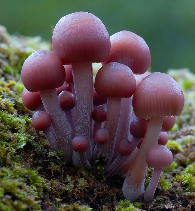 {Mushroom} Mycena clarkeana, East Gippsland, Victoria