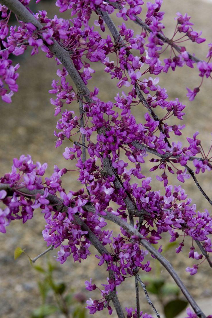 Best 25 dwarf shrubs full sun ideas on pinterest for Small flowering shrubs for full sun