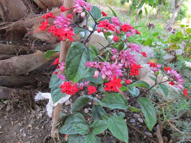 Cittaslow Botanik Park: Ağlayan kalpler ( Lomprocapnos spectabilis )