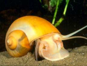Golden Apple Snails – The Care, Feeding and Breeding of Golden Apple Snails