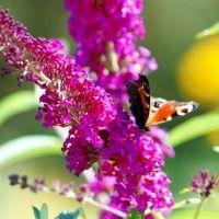 Budleja dawida (budleja davidii)  Budleja udekoruje teren w pobliżu balkonu czy tarasu wydzielając przyjemny aromat. To roślina wręcz magiczna, przyciągającą najróżniejsze gatunki motyli, które nierzadko przylatują na jej kwiaty całymi chmarami. Krzew dorasta do 3 metrów.  Najbardziej dekoracyjny jest w okresie od lipca do września, gdy wywarza dużo kwiatów