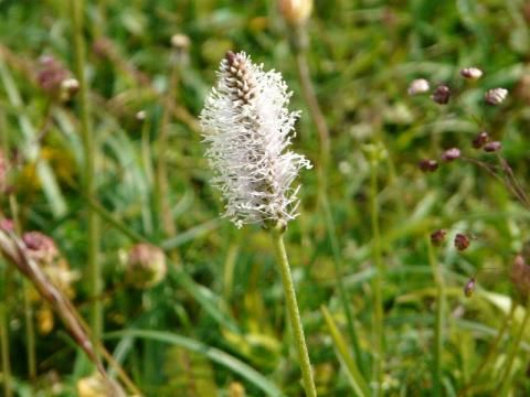 Hoary Plantain: enough to turn you grey | The Nature of Dorset