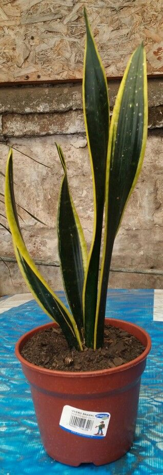 Best 25 sansevieria trifasciata ideas on pinterest - Plantas de interior resistentes ...