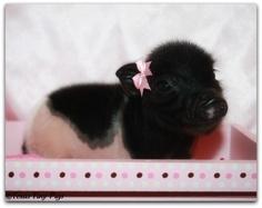 Cute black pig baby