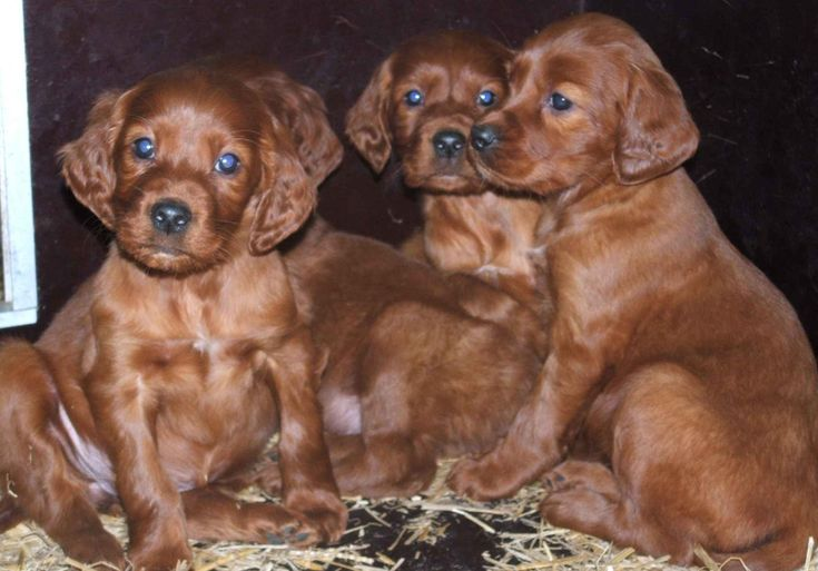Irish Red Setter puppies