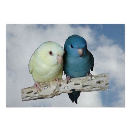Linnie Pair Poster (lineolated parakeets)