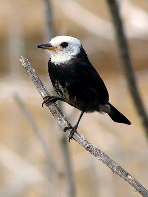 White-headed Marsh Tyrant (Arundinicola leucocephala).  Looks like a miniature Bald Eagle. : )