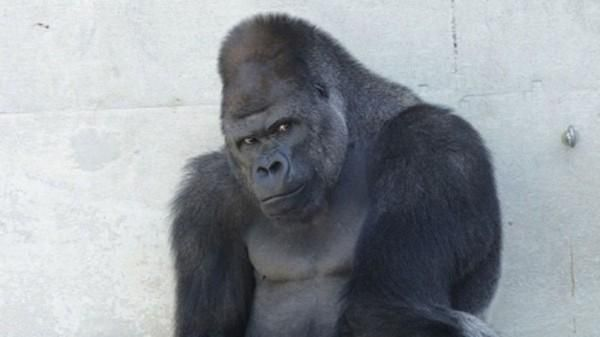 """Japanese Women Are Falling Hard for a """"Handsome"""" Gorilla Named Shabani - http://www.odditycentral.com/animals/japanese-women-are-falling-hard-for-a-handsome-gorilla-named-shabani.html"""