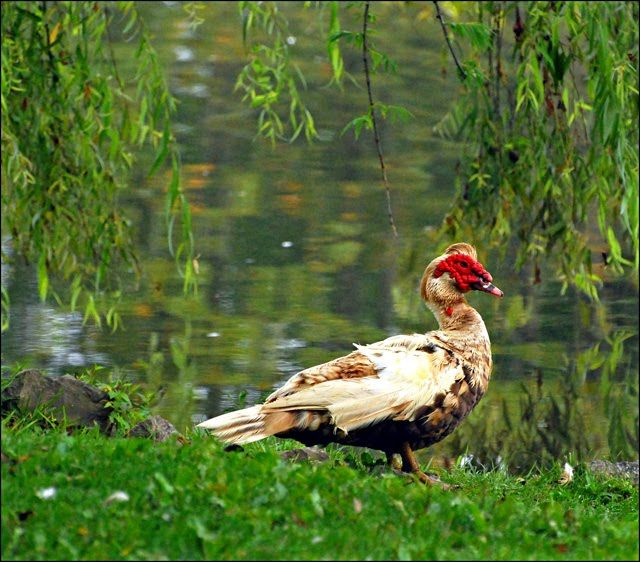 Muscovy Duck - Facts, Habitat, Diet, Behavior, As Pets, Photos