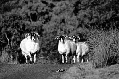 I see ewe. Black Faced Sheep on Skye, Scotland.