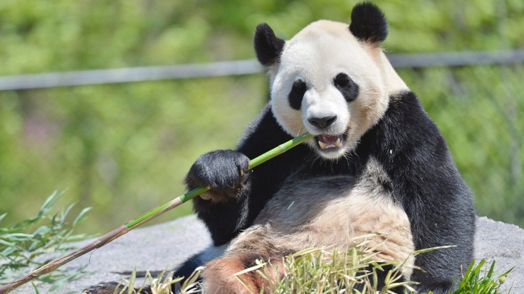 Chinese Pandas Make Canadian Debut at the Toronto Zoo
