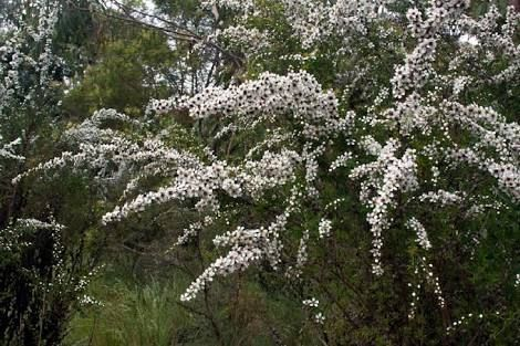 prickly tea tree leptospermum continentale