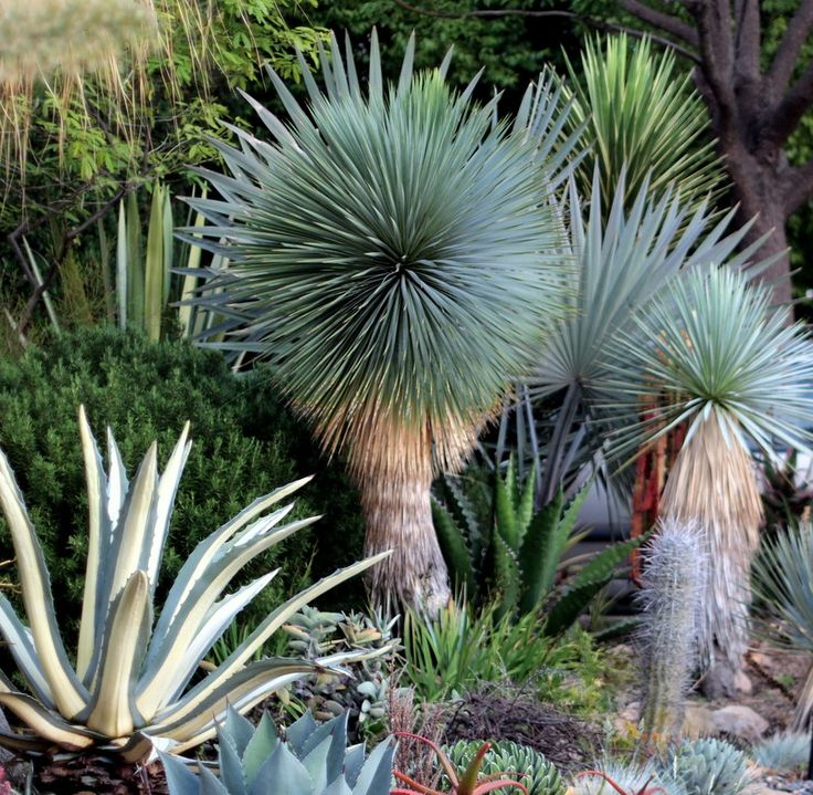 check out those yucca rostrata! I'm in plant lust