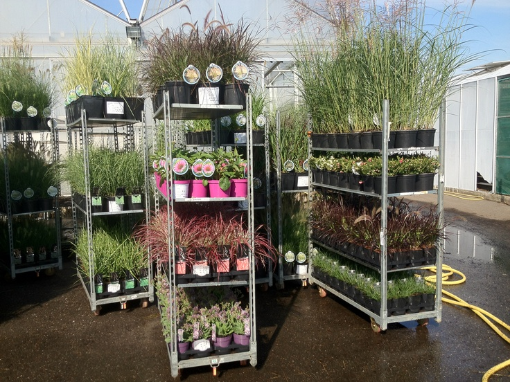 Our Carex selling from a customers nursery in Netherlands