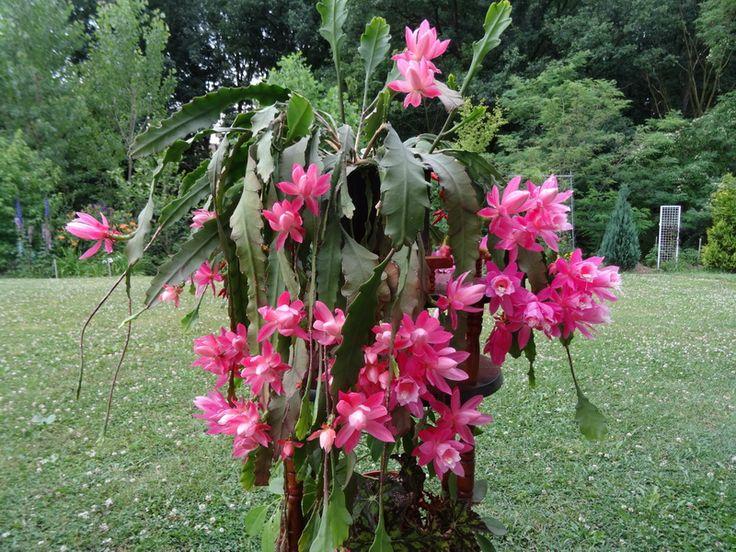 Paint Color Epiphyllum