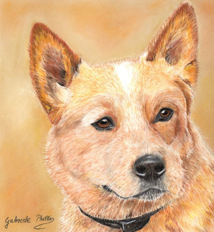 red cattle dog www.petportraitsgabrielephillis.com