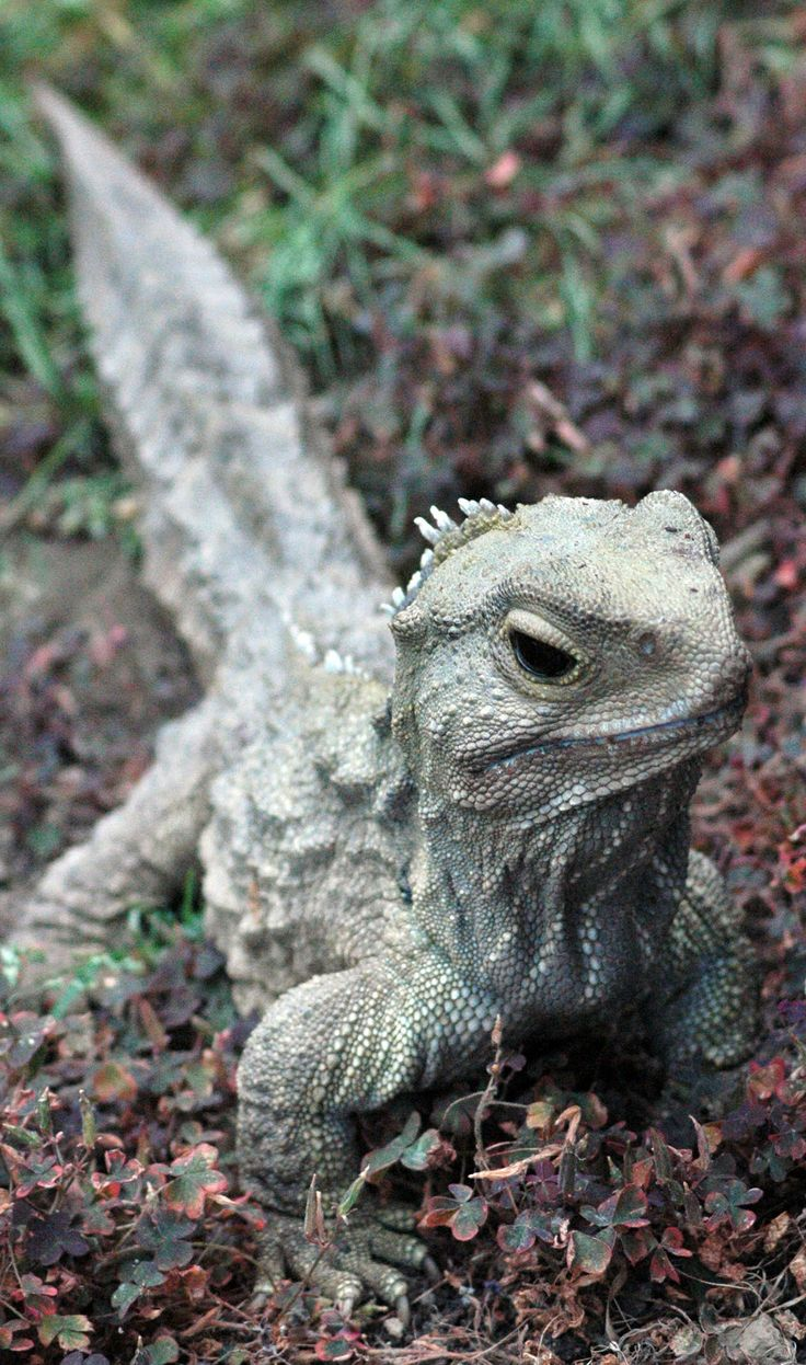 The Tuatara are reptiles endemic to New Zealand and which, although resembling most lizards, are part of a distinct lineage, order Rhynchocephalia.