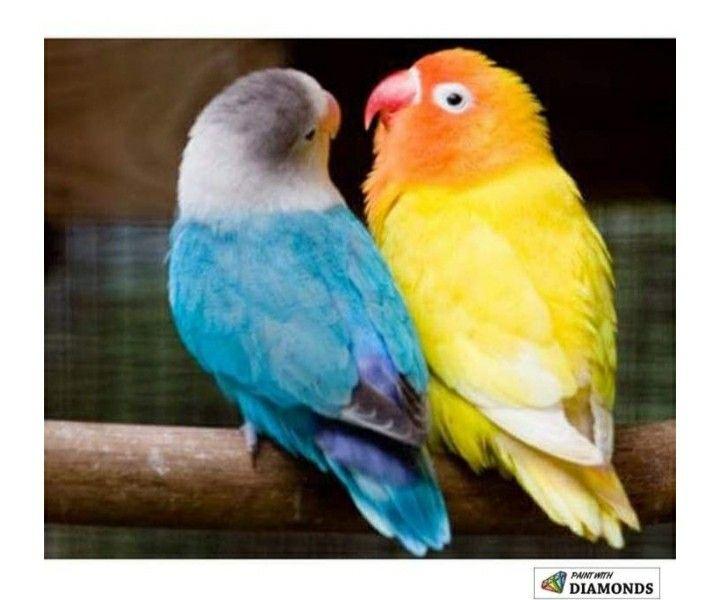 Pin By Patty Reeves Hawkins On Birds Birds Pet Birds African Lovebirds