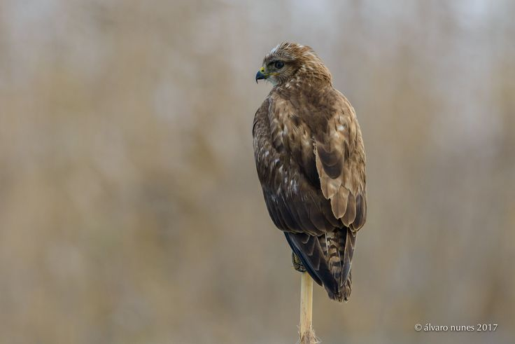 Águia-d'asa-redonda | Common buzzard | Buteo buteo - Lezíria Grande de Vila Franca de Xira Portugal