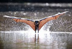 A grey-headed flying fox bat cools off during the heatwave that is affecting Melbourne by skimming along the surface of the Yarra River. Body surfing along the river with their kite-like wings helps them keep their cool.