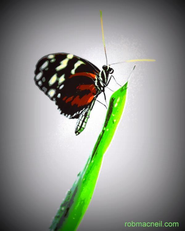 Butterfly by Robert Macneil @mycamerahatesme