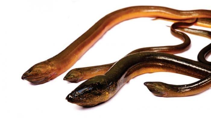 Manfaat belut sepertinya telah melebihi sejumlah ikan. Coba lihat daftar berikut: