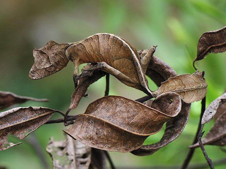Le gecko satanique à queue de feuille - http://www.2tout2rien.fr/le-gecko-satanique-a-queue-de-feuille/
