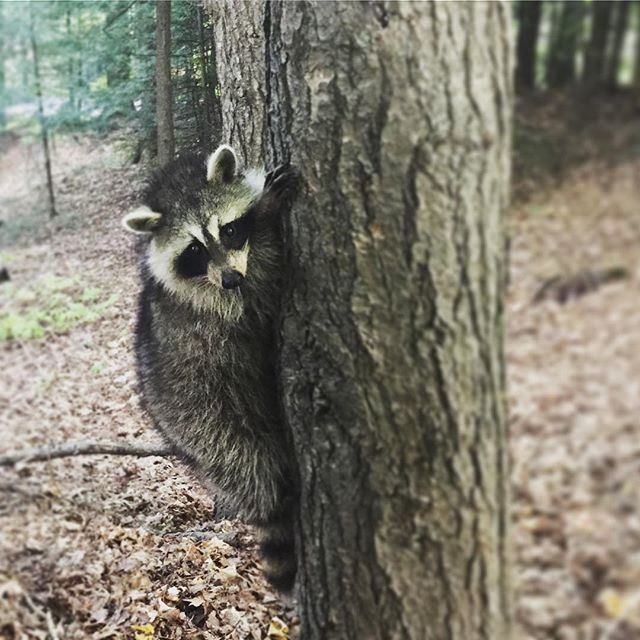 I see you 👀 #rascally little #raccoon