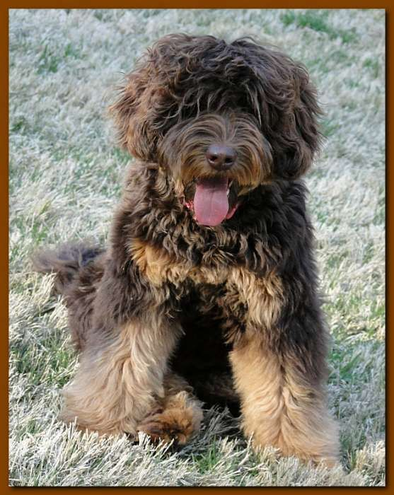 Southern Charm Labradoodles - American and Australian Labradoodle puppy Breeder…