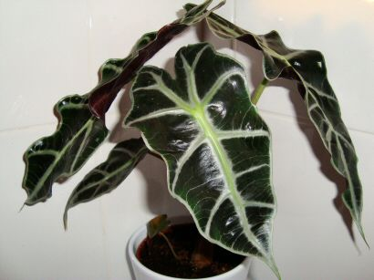 Alocasia (known as the Kris Plant or Elephant Ear) - tips on how to grow the plant indoors.