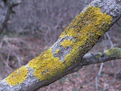 Вред лишайника на фруктовых деревьях.