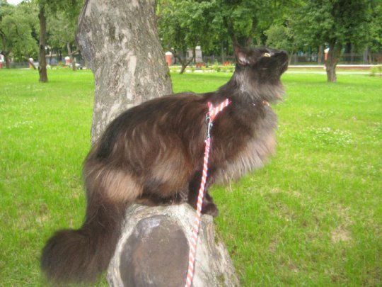 Норвежская лесная кошка | Фото кошек | Animal.ru