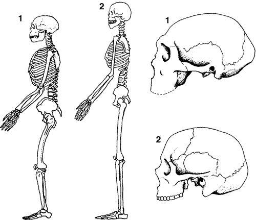 Evolución del cráneo del Homo neanderthalensis.