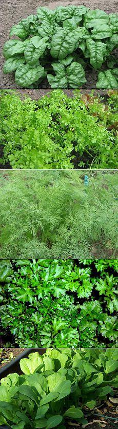 Чтобы зелень быстрее выросла на грядках — 6 соток
