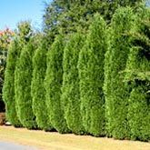 Dwarf Hinoki Cypress for Sale | Fast-Growing-Trees.com