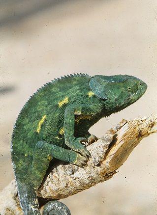 Chameleon in the garden Northern Rhodesia 1950's. Picture Osmo Vartiainen.