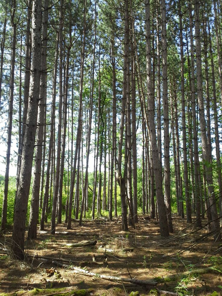 Red Pine Plantation #trees #nature